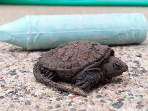 Photo of baby snapping turtle crossing Clinton Avenue near Diamond Lake in Minneapolis