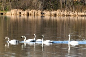 Swans on Diamond Lake