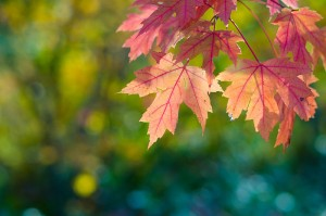 autumn-red-maple-leaves