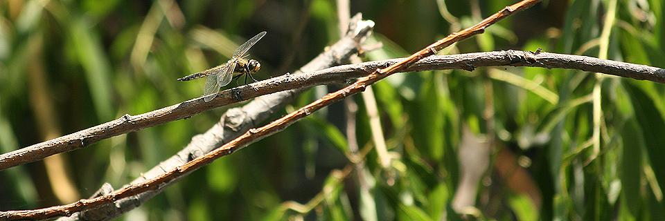 Dragonfly near Diamond Lake in Minneapolis